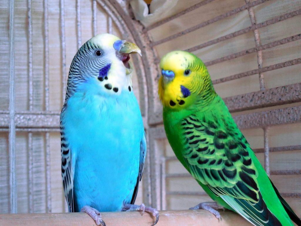 Parakeet Speak